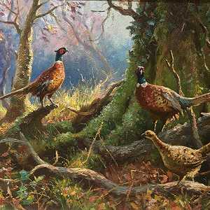 Pheasants at Drumimerick Near Kilrea